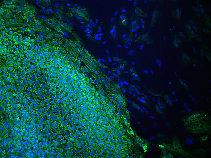induced pluripotent stem cells in a pluripotency test