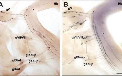 Bifurcation of axons from cranial sensory neurons depend on the receptor guanylyl cyclase Npr2