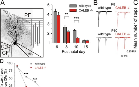 Elimination of climbing fiber-Purkinje cell synapses is impaired in the absence of CALEB.