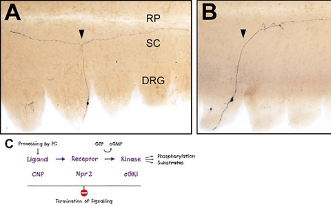 Loss of bifurcation of axons from DRG neurons in the absence of Npr2-mediated cGMP signaling