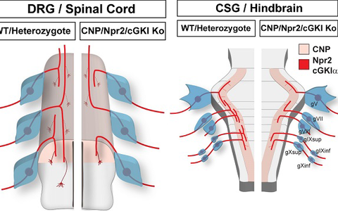 Schematic representation of the bifurcation defects observed in the absence of cGMP signaling in axons from dorsal root ganglia (DRG) in the spinal cord and cranial sensory ganglia (CSG) in the hindbrain