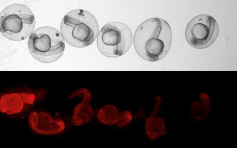 fish embryos