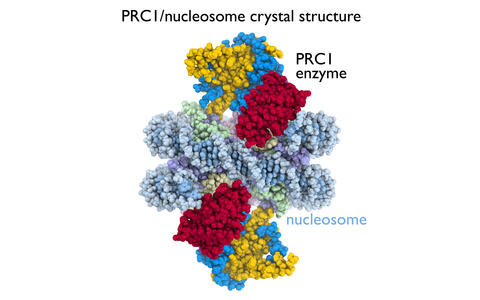 Nucleosome with PRC1
