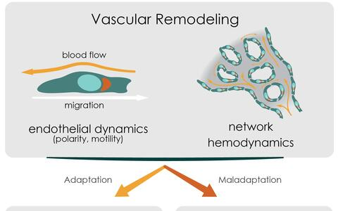 The concept of flow-migration coupling in physiology and pathology.