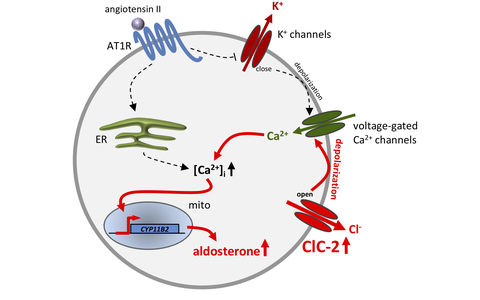 Gain of function mutation in the ClC-2 chloride channel causes primary aldosteronism.