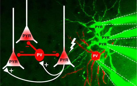 Schematic drawing how pyramidal cells generate single signals that activate PV interneurons