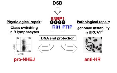 Figure 3. Physiological and pathological repair outcomes of 53BP1-mediated DNA end protection function