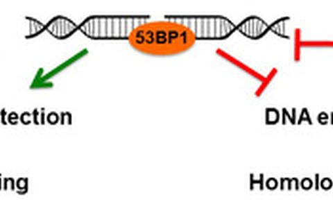 Figure 2. 53BP1 role in the regulation of DNA end processing
