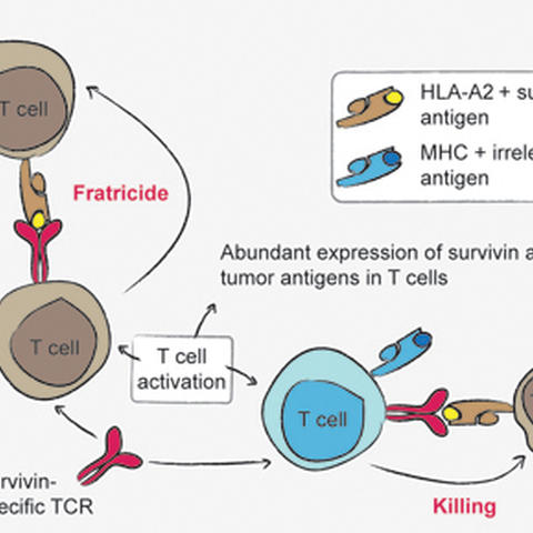 Fratricide among T cells | MDC Berlin