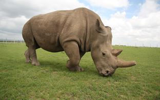 The Northern White Rhino Fatu is one of the last two remaining females of their species
