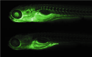 Zebrafish with and without tmem63c gene