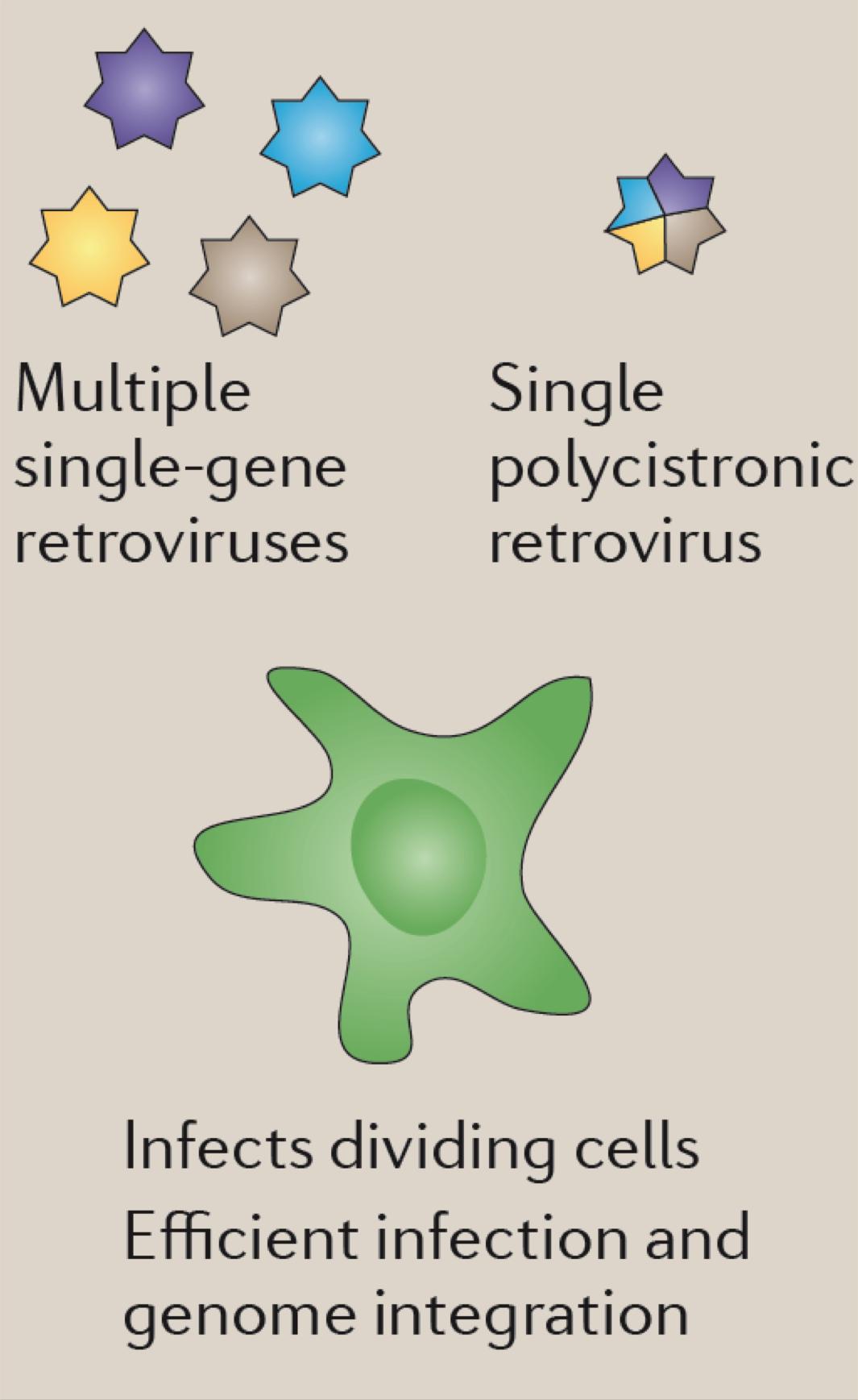 Pluripotent Stem Cells   MDC Berlin