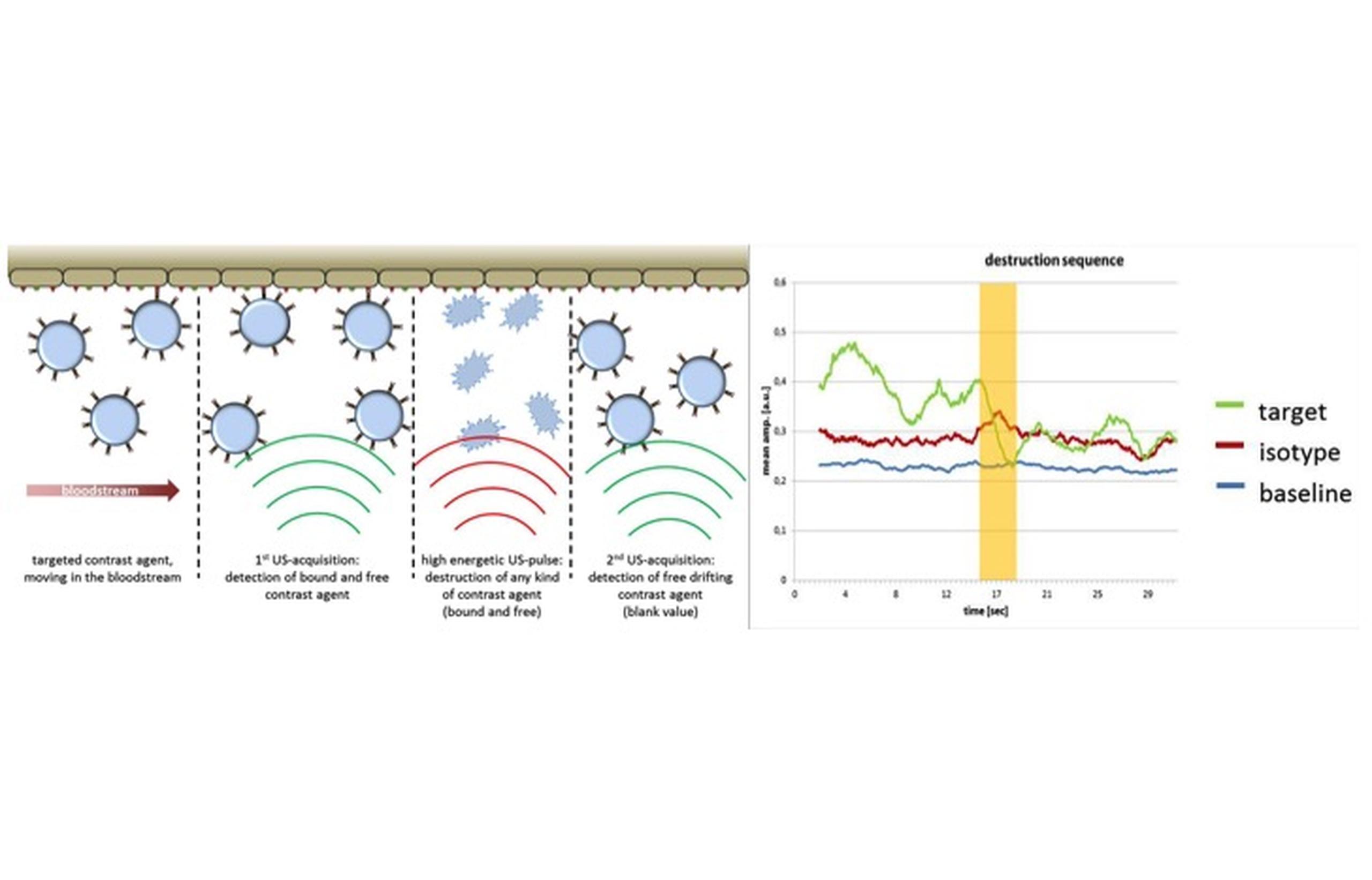 Hochfrequenz Ultraschall | Max-Delbrück-Centrum für Molekulare Medizin
