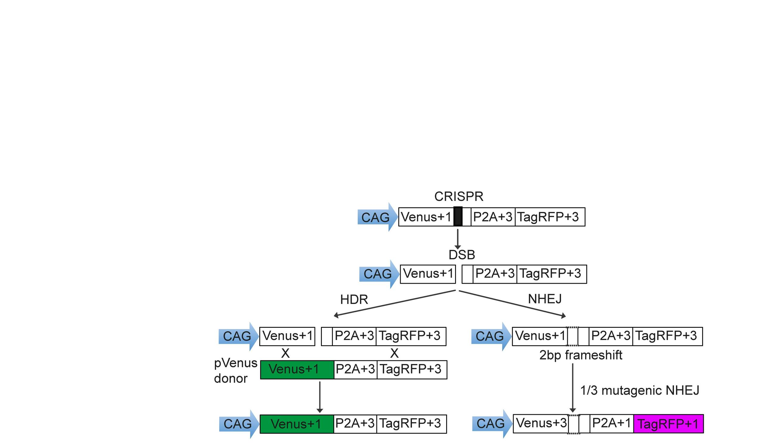 Perfecting The Tools To Rewrite Genomes Max Delbrck Center For Figure 1 Block Diagram Click On Image Enlarge These Schemes Give A Recipe Building Stoplight Reporter That Scientists Inserted Into Cells Using Crispr Cas Method